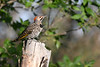 Northern Flicker 3 July 31 2020