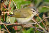 Red eyed Vireo Aug 21 2017