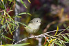 Ruby Crowned Kinglet 6 Sep 21 2020