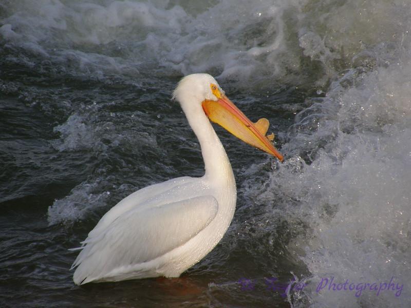 Pelican at Saskatoon weir in spring, Saskatoon, Saskatchewan