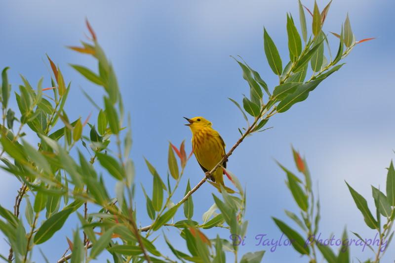 Yellow warbler, Saskatchewan