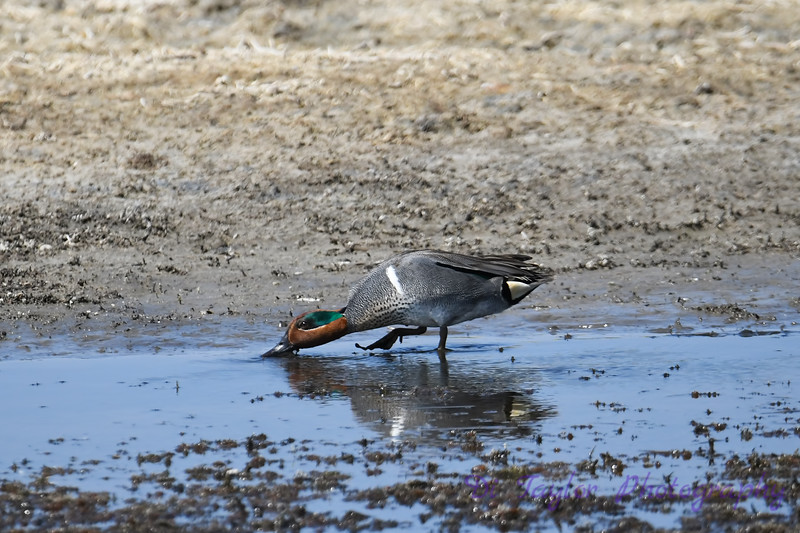 Green winged Teal male 30 May 2019