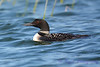 Common Loon Aug 26 2017