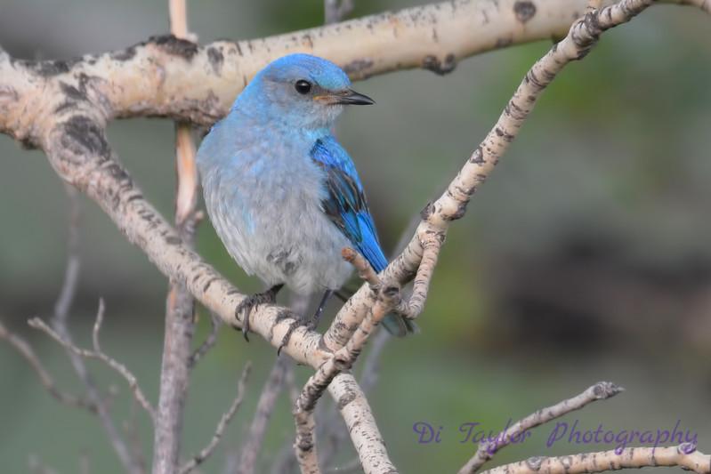 Mountain Bluebird Juvenile 4  8 July 2017
