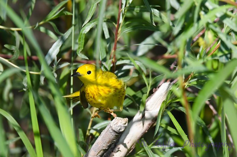 Yellow Warbler male taking flight Jul 2019