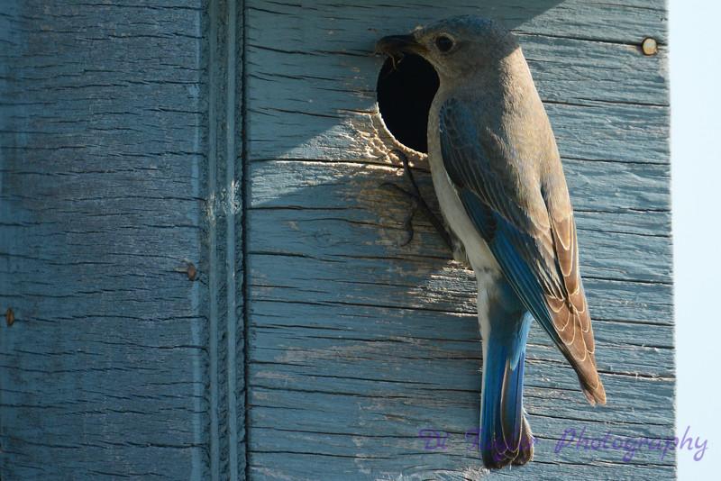 Female Mountain Bluebird at the nest