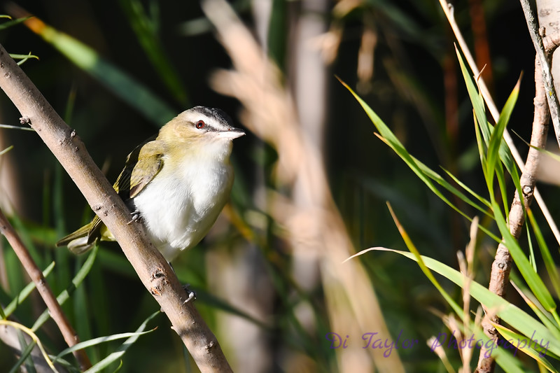 Red Eyed Vireo 3  Sep 7 2018