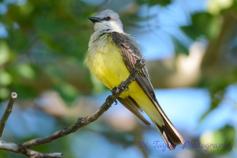 Western Kingbird 8
