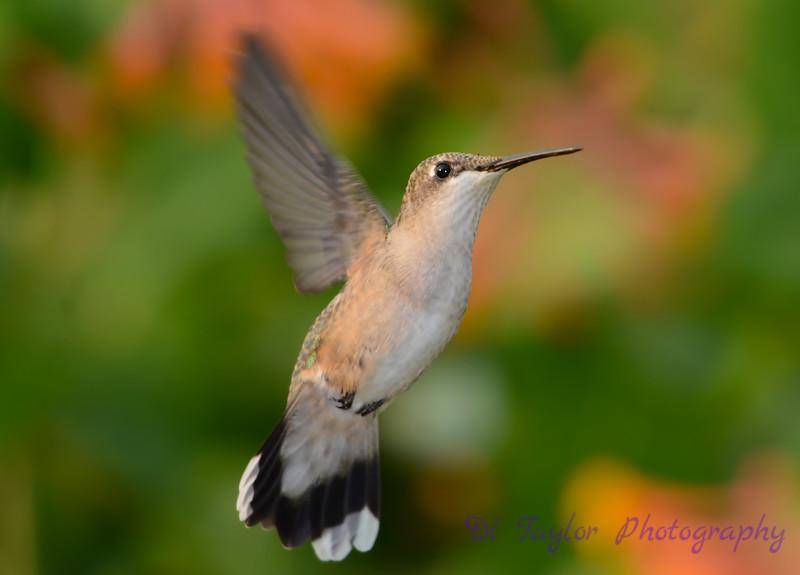 Female Ruby throated hummingbird 22