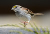 White throated sparrow 2