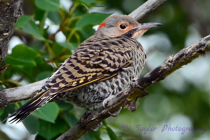 Northern Flicker juvenile