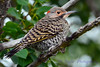 Northern Flicker juvenile