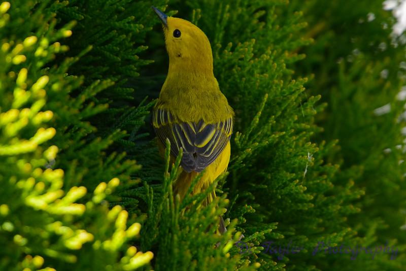 Yellow warbler in cedar3