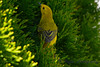 Yellow warbler in cedar3