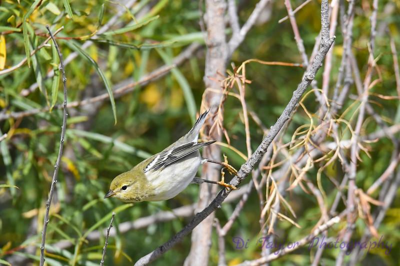Blackpoll Warbler Sep 12 2020