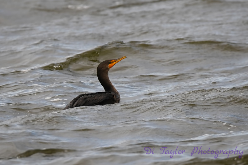 Cormorant Swimming Sep 9 2018