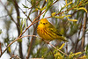 Yellow Warbler male May 31 2020