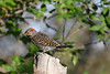Northern Flicker 4 July 31 2020