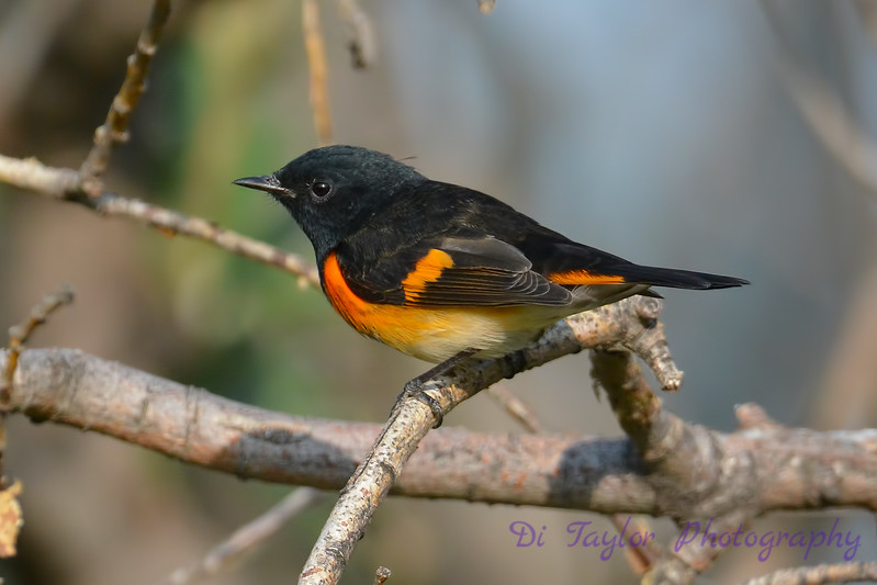 American Redstart male 8  Sep 10 2017