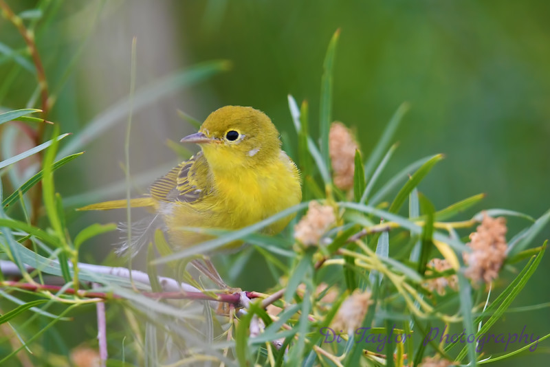 Yellow Warbler male July 18 2020