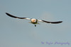 Avocet in Flight
