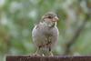 House Sparrow juvenile 22 Jul 2017
