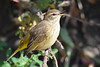 Palm Warbler Non breeding  4  Sep 4 2017