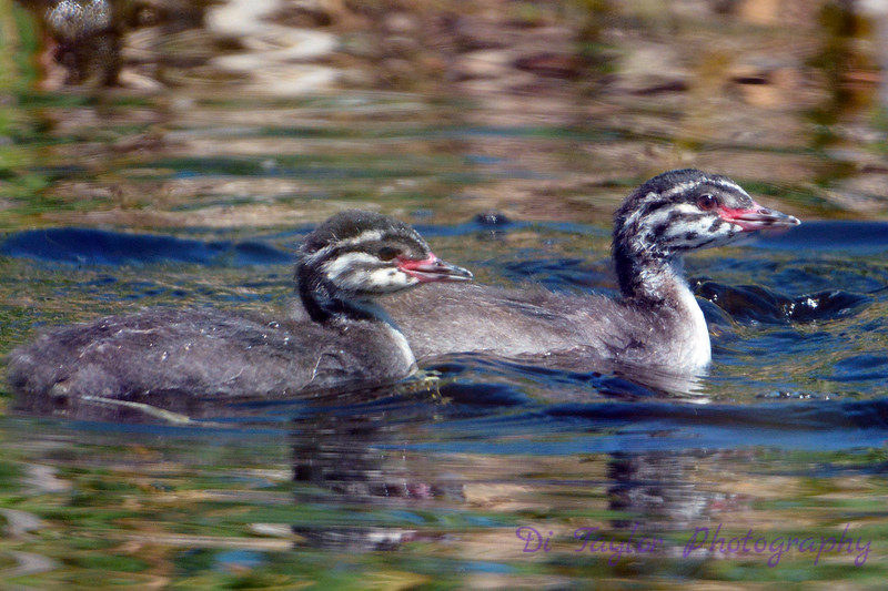 2 Baby Grebes