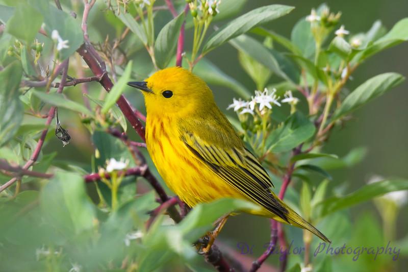 Yellow Warbler male 2  14 Jun 2019