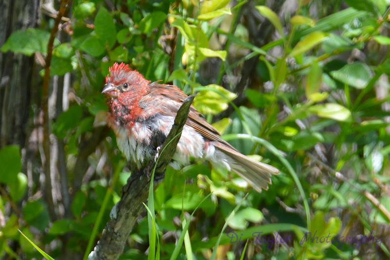 Purple Finch male all wet 5