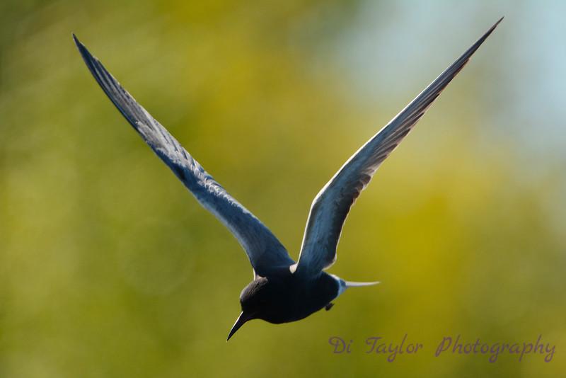 Black Tern hovering 1