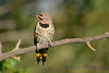 Northern Flicker 16