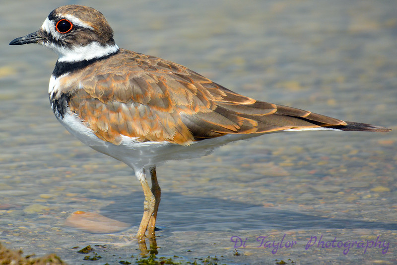 Killdeer wading in water 2