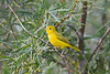 Yellow Warbler male Aug 18 2018