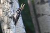 Red Naped Sapsucker July 29 2018