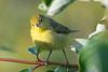 Yellow Warbler 4  5 Aug 2019
