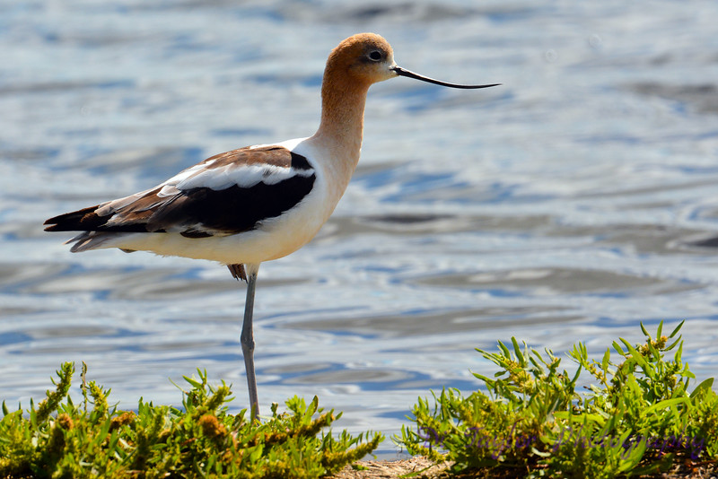 American Avocet standing on one leg