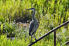 Great Blue Heron 16 Aug 2 2020