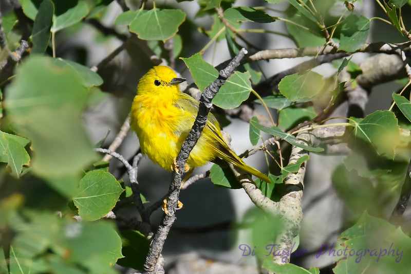 Yellow Warbler male 3 July 15 2018