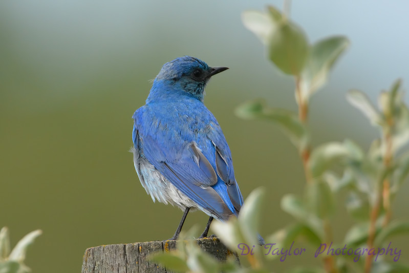 Mountain Bluebird 5  28 Jul 2017