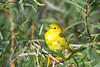 Yellow Warbler 8 Aug 7 2018