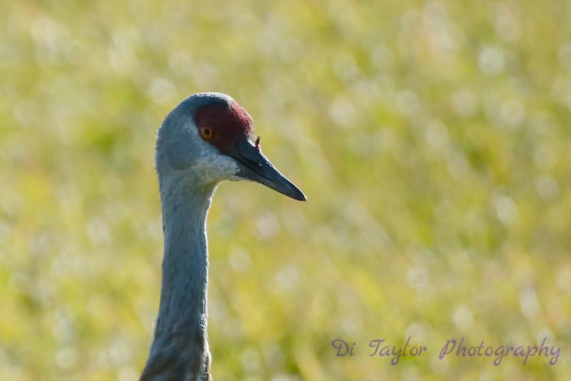 Sandhill Crane closeup 2015