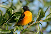 Baltimore Oriole Male 7