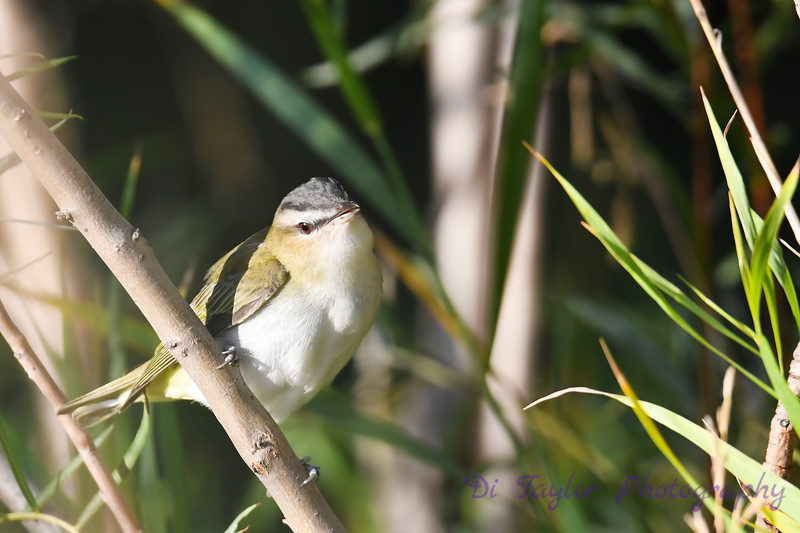 Red Eyed Vireo 2  Sep 7 2018