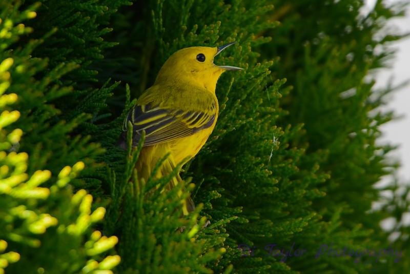 Yellow warbler in cedar singing