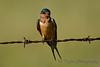Barn Swallow 4  Aug 25 2017