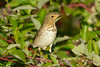 Hermit Thrush 2  Sep 17 2017