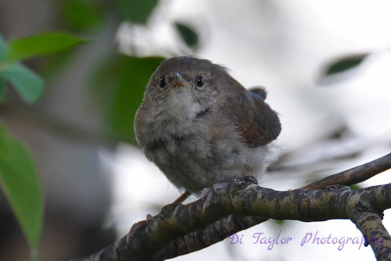 Winter Wren juvenile  28 Jul 2017