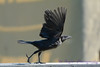 Common Grackle juevenile