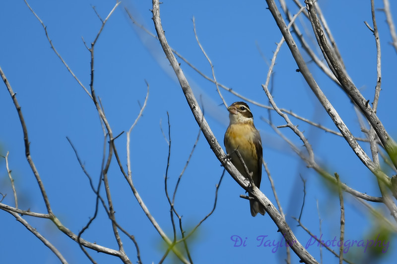 Black Headed Grosbeak May 19 2018